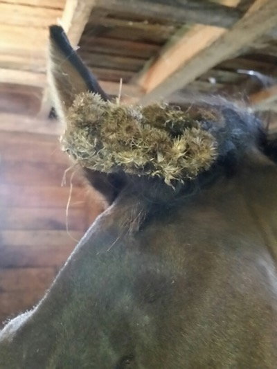Pro Equine Grooms - How to deal with stickers and burrs stuck on
