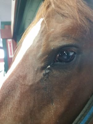 Pro Equine Grooms Grooming The Eye Area Of Your Horse