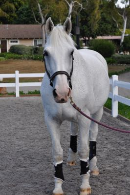Keeping The White Horse White Pro Equine Grooms