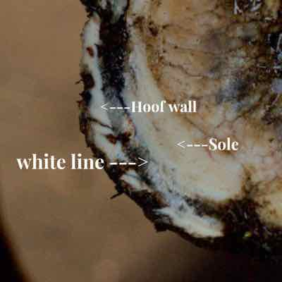 White Line Disease of the Horse's Hoof